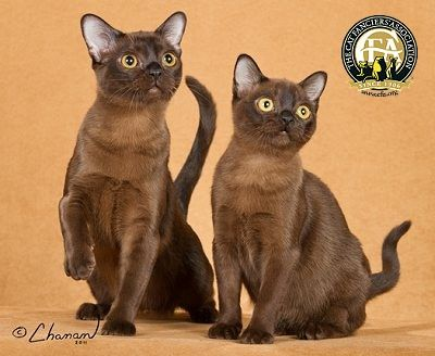 Breed Profile The Burmese Burmese Cat Burmese Kittens Cute Cats And Kittens