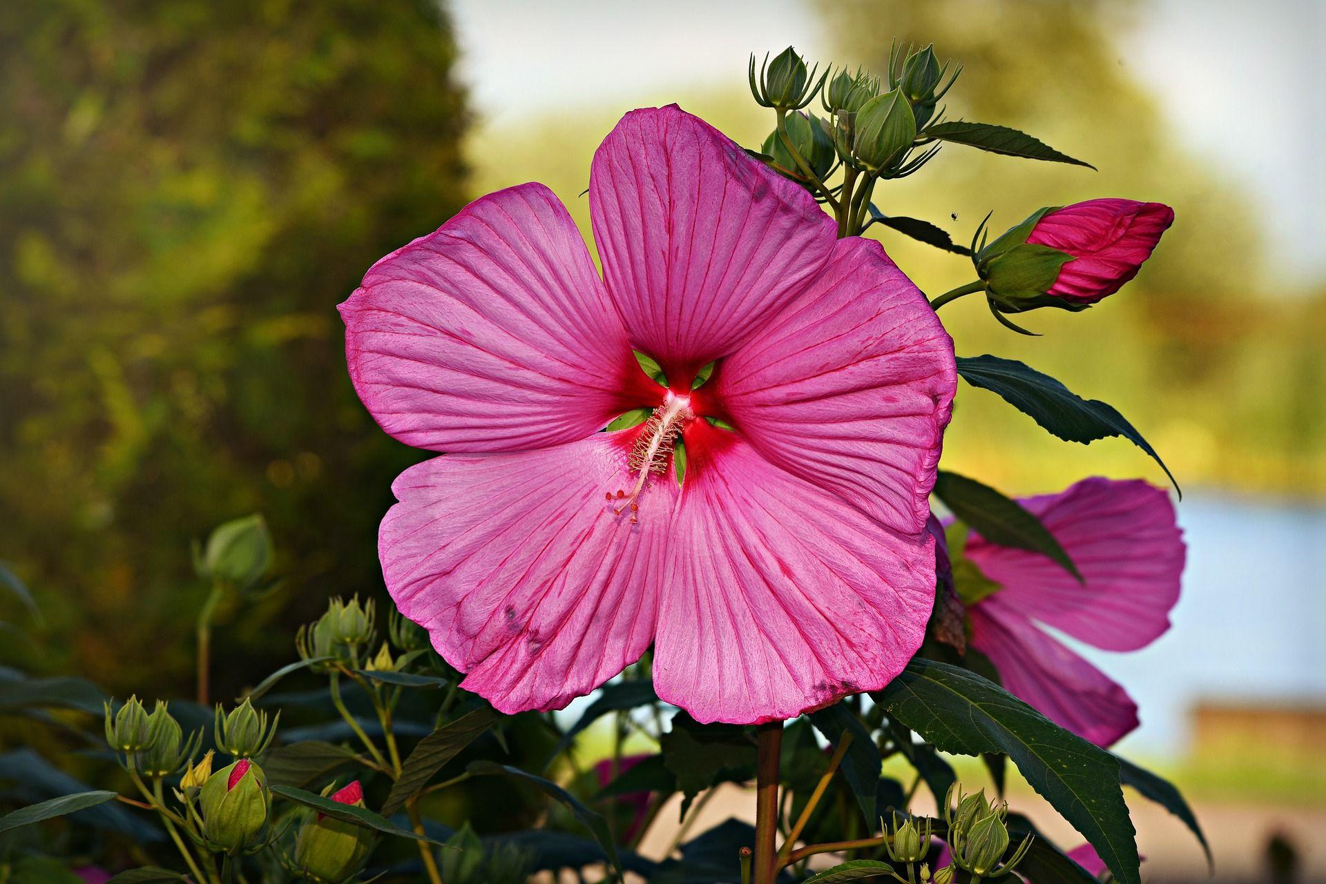 Hibiscus Flower 6 Benefits For Beautiful Skin Beautiful Flowers Images Hibiscus Flower Images