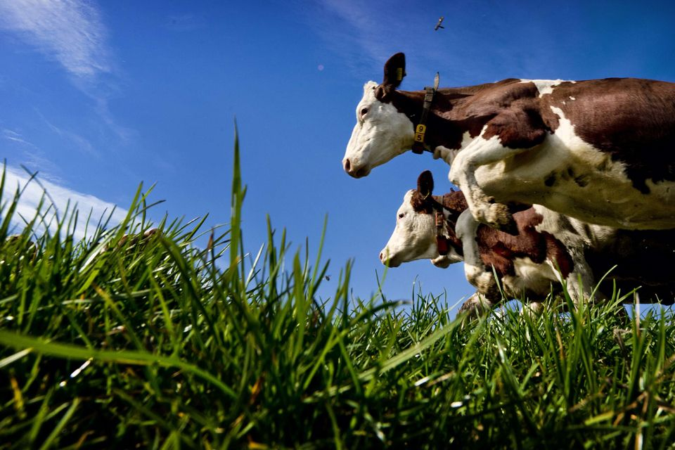 Weeeeee....! Cows in Holland seem to be happy to be out now that the winter is over!