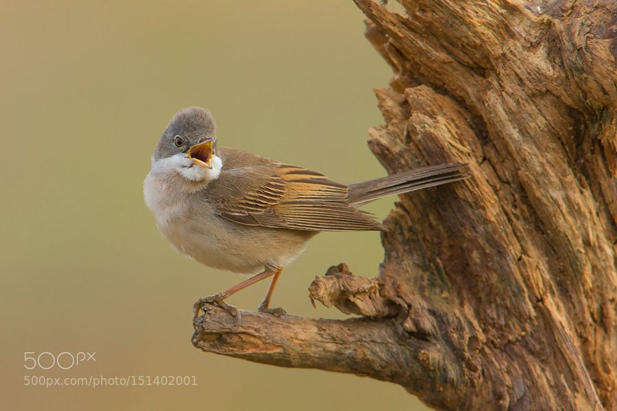 Common whitethroat by Zbikuj. Please Like http://fb.me/go4photos and Follow @go4fotos Thank You. :-)