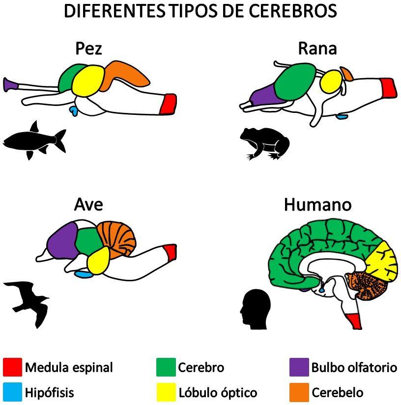Infografía Neurociencias: Diferentes tipos de cerebros. | Asociación Educar
