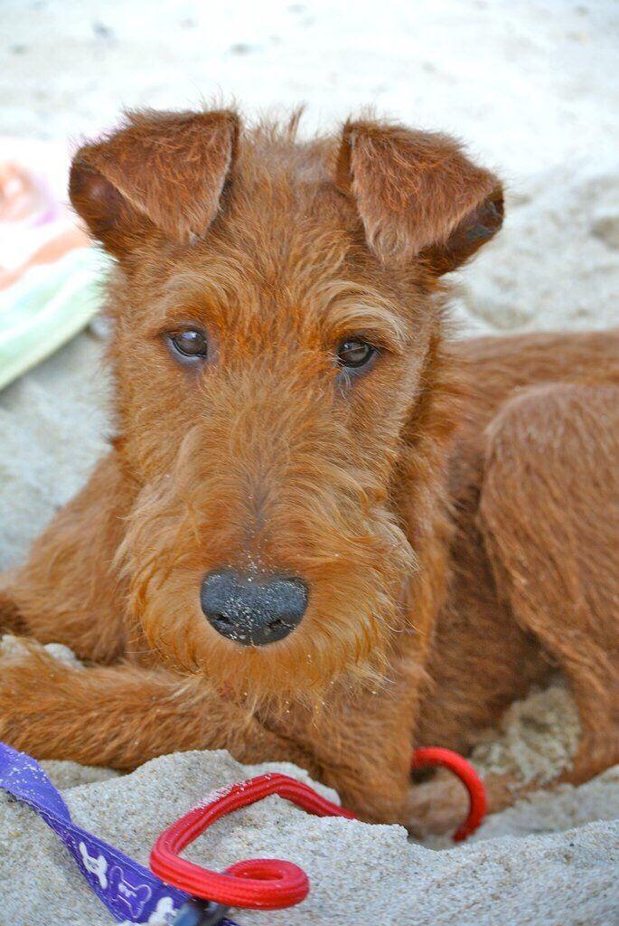 Seamus Loving The Beach Life Irish Terrier Irish Terrier Irish Dog Irish Wolfhound