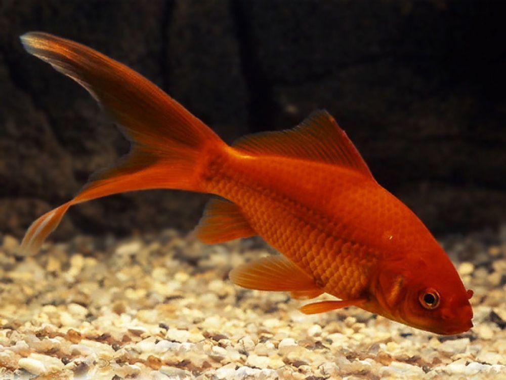 Comet goldfish in 2020 comet goldfish goldfish fantail