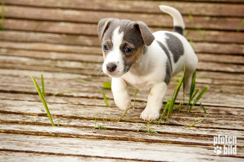 Such a cute Jack Russel puppy! Tiere hund, Jack russell