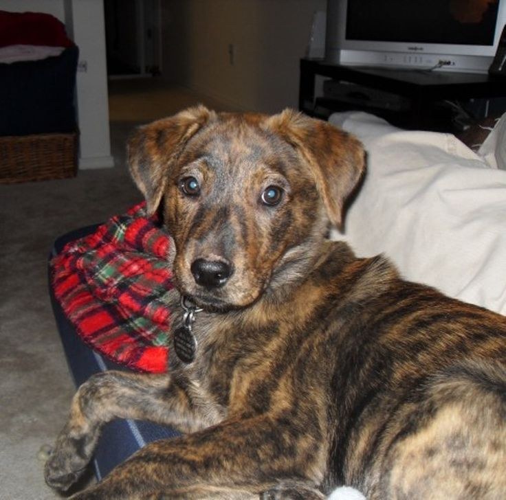 Plott Hound On Pinterest Odessa Texas Dogs And Hunting Dogs