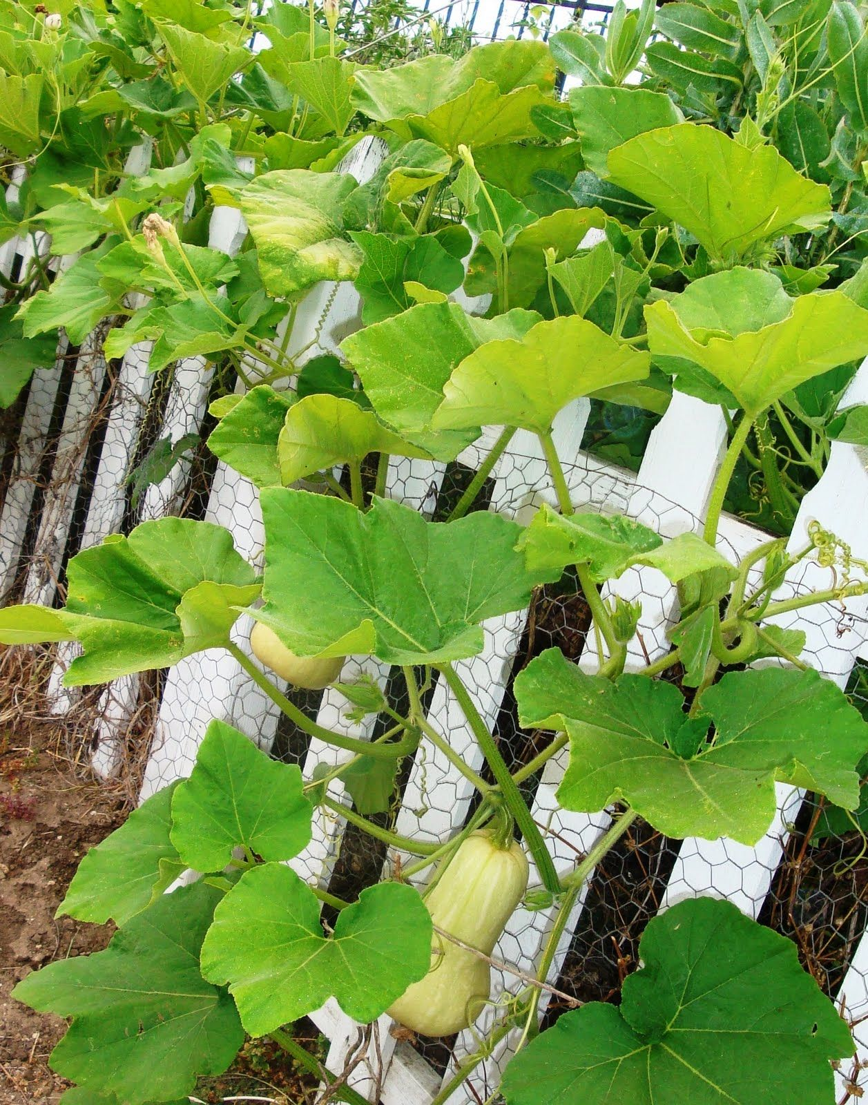 Butternut Squashes Growing On The Fence Planting Vegetables Vegetables Fruit Garden