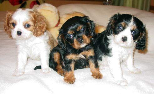 So Cute Cavalier King Charles Spaniel Tricolor King Charles Cavalier Spaniel Puppy King Charles Spaniel