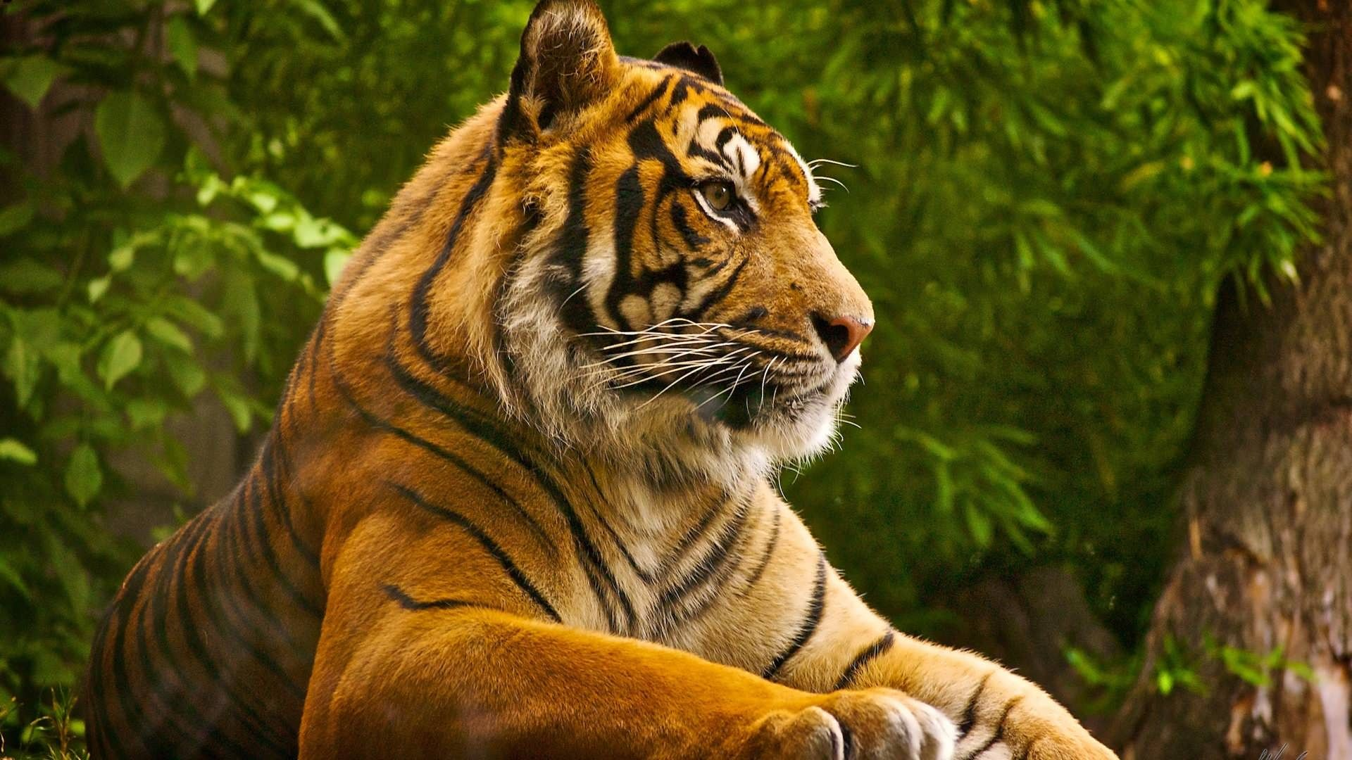 Alone Tiger 1080p Free Hd Wallpapers For Pc Pet Tiger Tiger Pictures Animals Beautiful