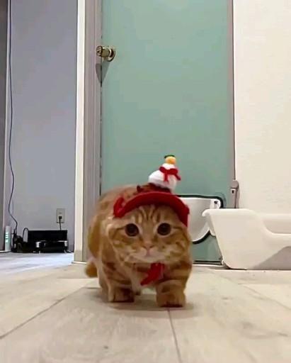 Cat With Short Legs Orange Kitten Video In 2021 Orange Kittens Baby Animals Super Cute Cute Cats