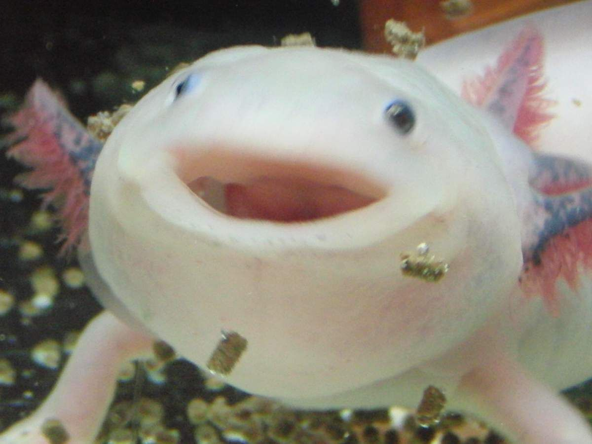 The axolotl mexican salamander all creatures great and for Water lizard fish