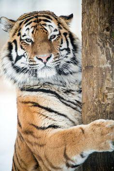 ≡₪ Tigre ₪≡
