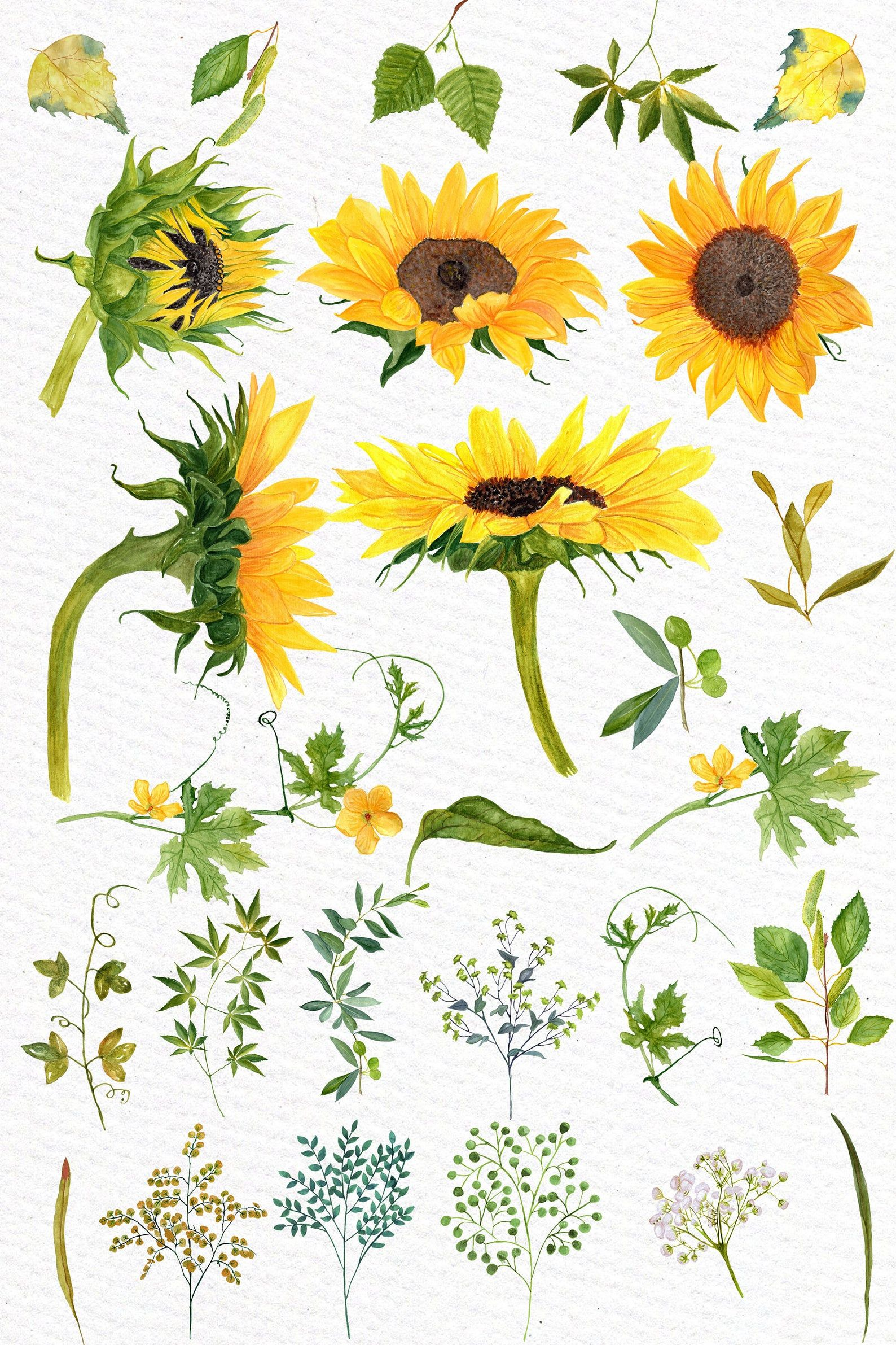 Sunflower Watercolor clipart: