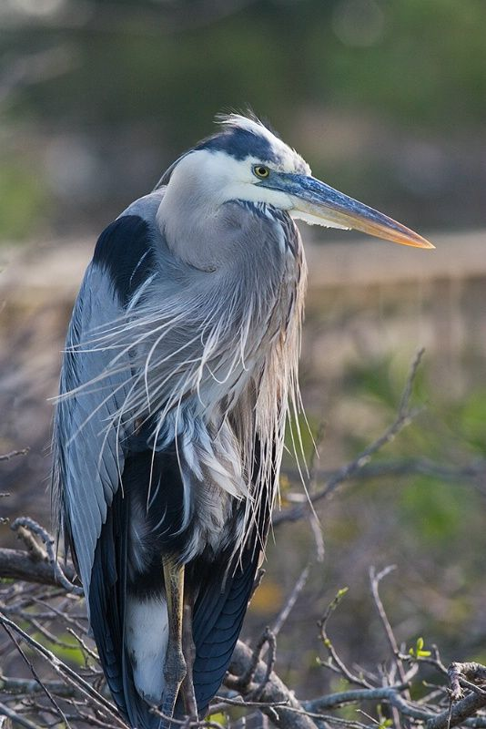 Great Blue Heron The Native American Symbol Of Strength Great