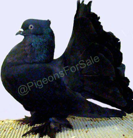 Indian Fantail Pigeons For Sale - Fantail Pigeons | Pets | Fantail