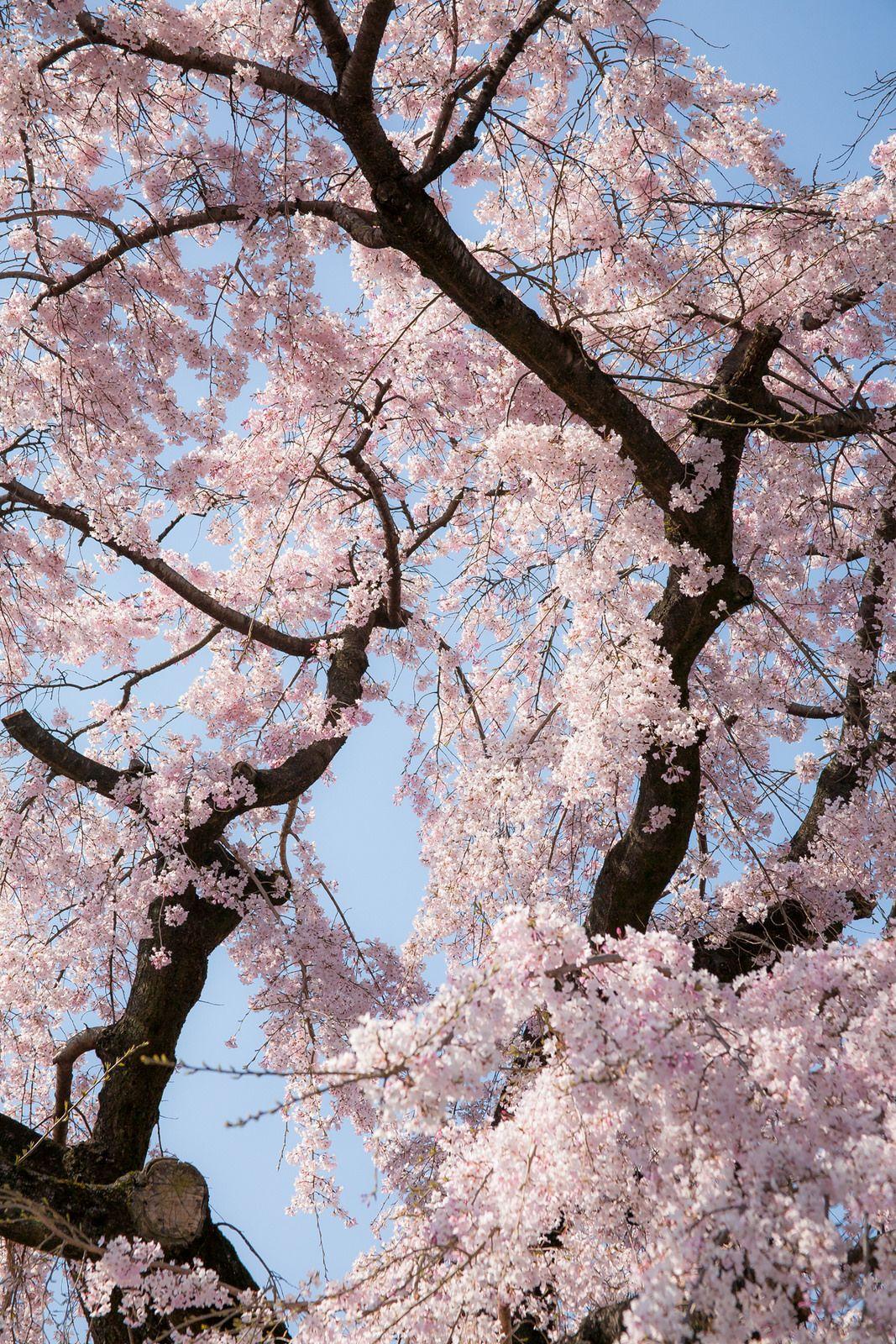 Blippo Kawaii Pastel Aesthetic Aesthetic Pastel Wallpaper Cherry Blossom Tree