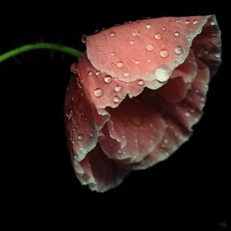 Rain Drops On Pink Poppy Photographic Print Flower Photography By Viorica Maghetiu Art Com Poppies Pink Poppies Flowers Photography