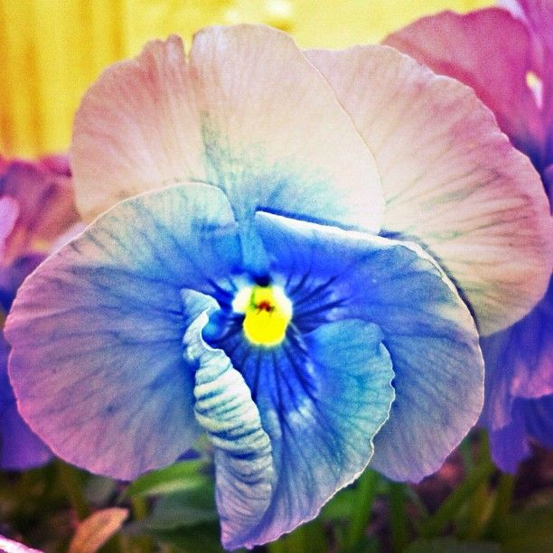 #Macro ~pansy #Flower Photo from the Instacanvas gallery for photobypixie.