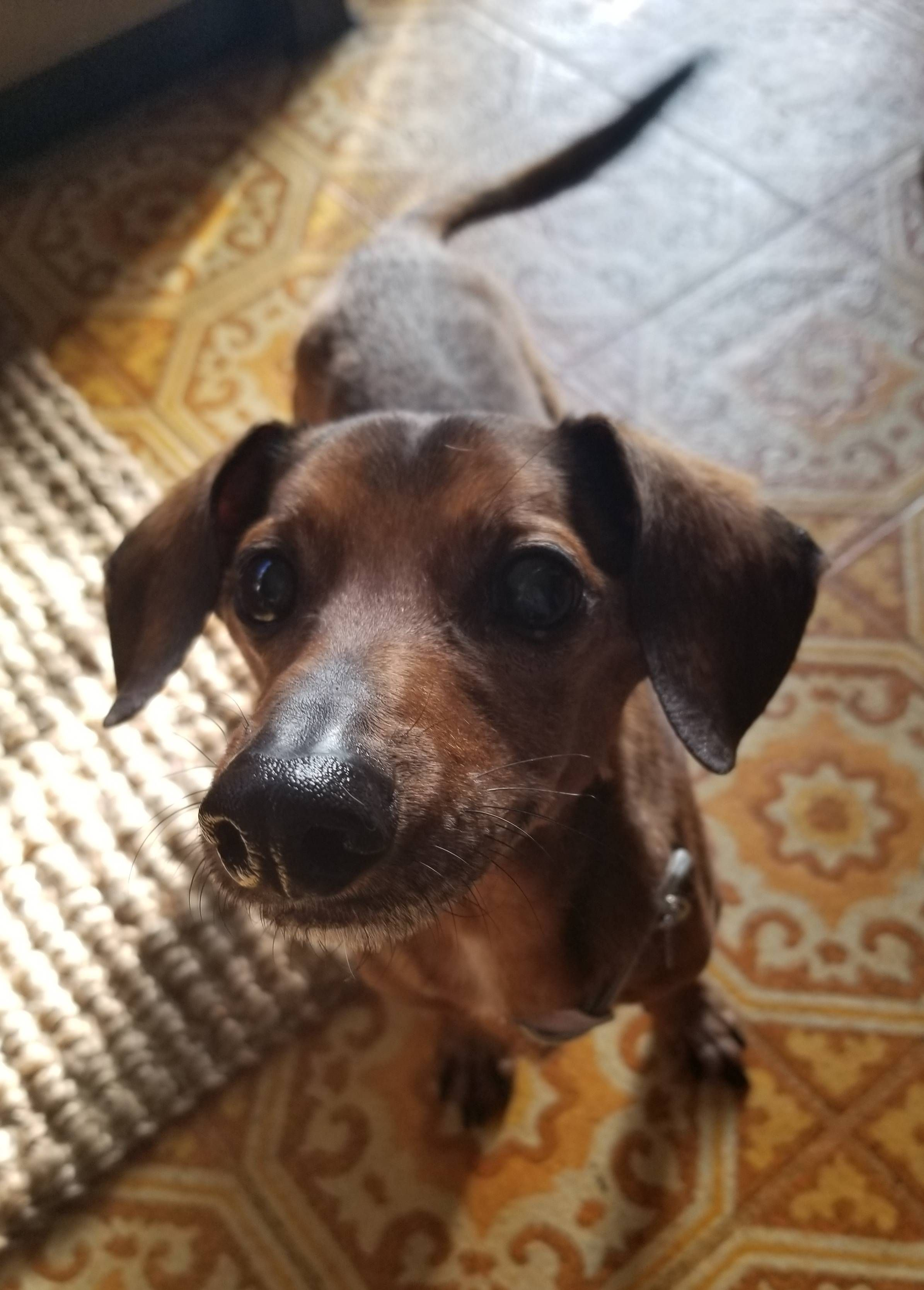 My Fiance And I Adopted A 14yr Old Dachshund Today Meet Kingston