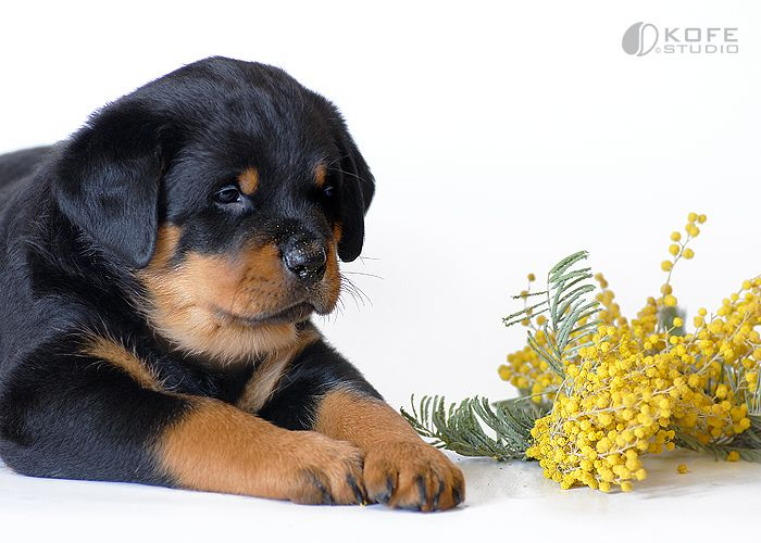Rott Puppy From Your Friends At Phoeni Rottweiler Puppies