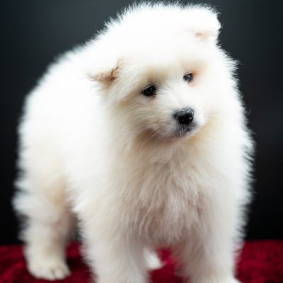 Bud pupper AKC Samoyed for sale in Keene, Texas in 2020