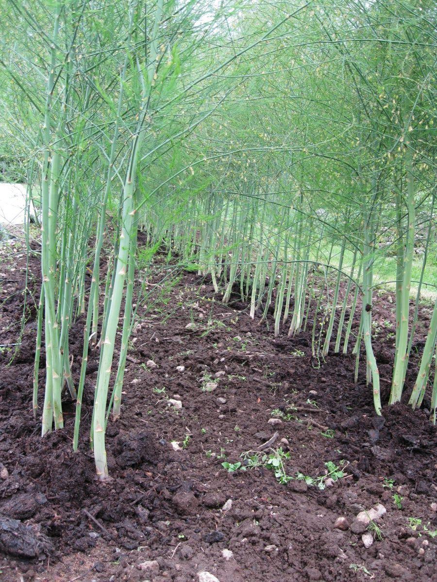Asparagus Unh Extension Growing Vegetables 640 x 480