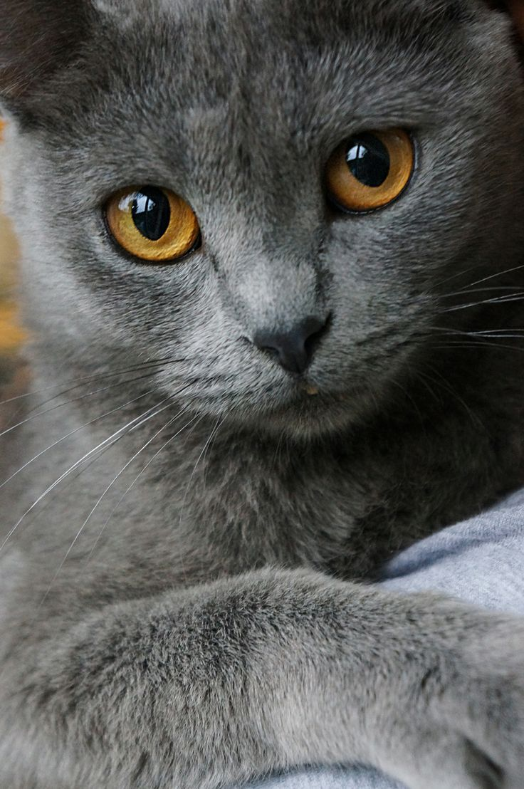 Beautiful Cat Such Gorgeous Eyes Chartreux Cat Beautiful Cats Grey Cats