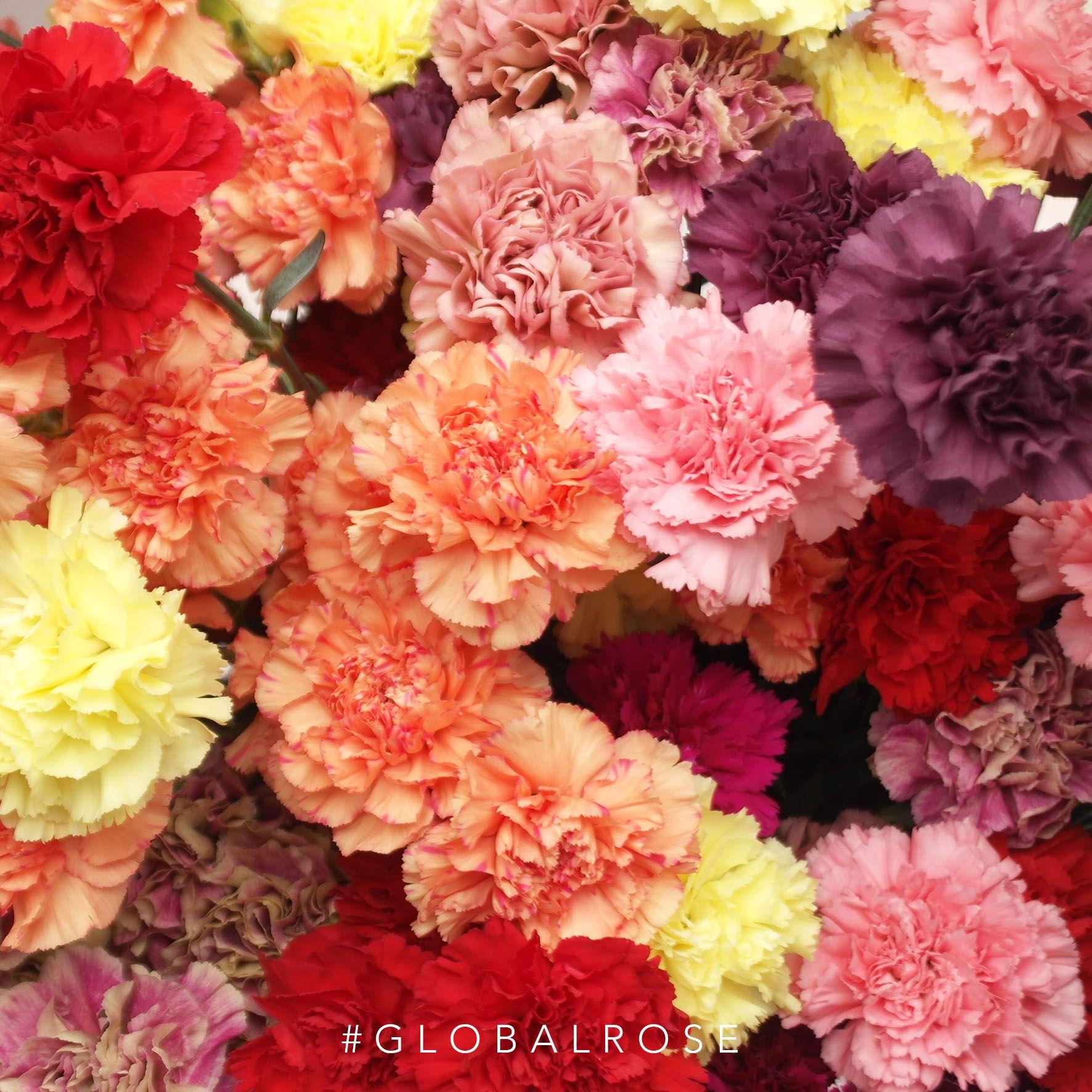 Carnations Best Flower Delivery Carnation Flower Carnations
