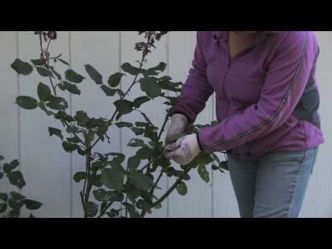 How to trim roses