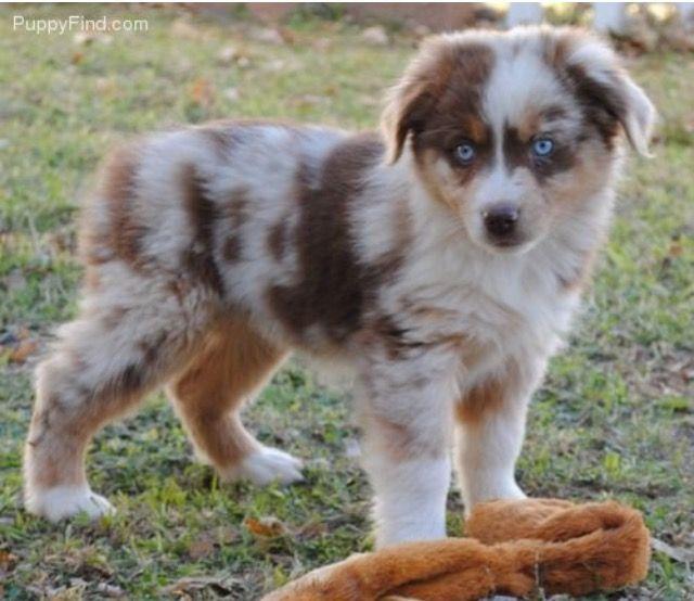 Australien Scheppert Puppies Pets Aussie Dogs