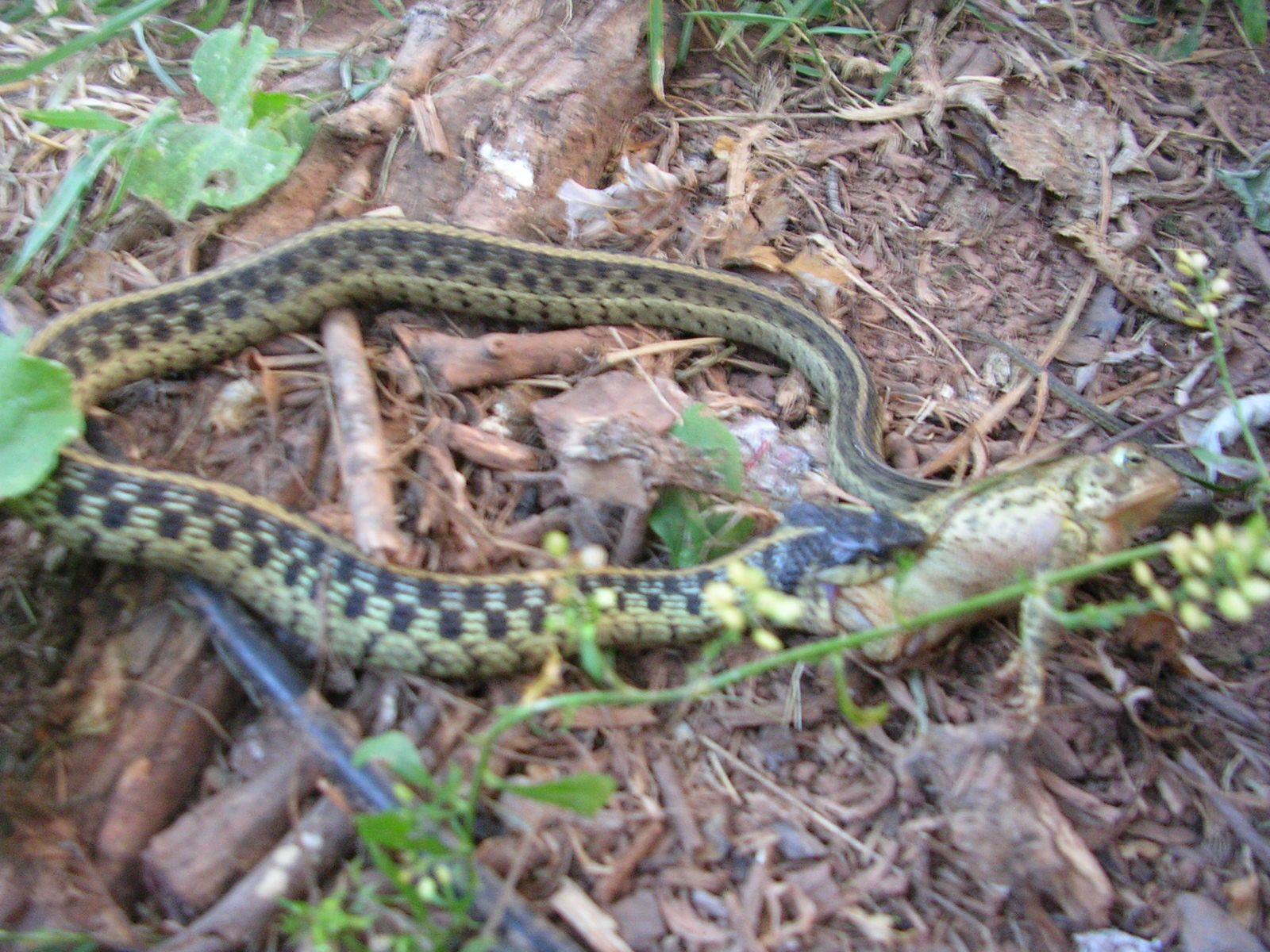 Snakes In Mississippi Garter Snake Nonpoisonous Copperhead - Poisonous snakes in mississippi