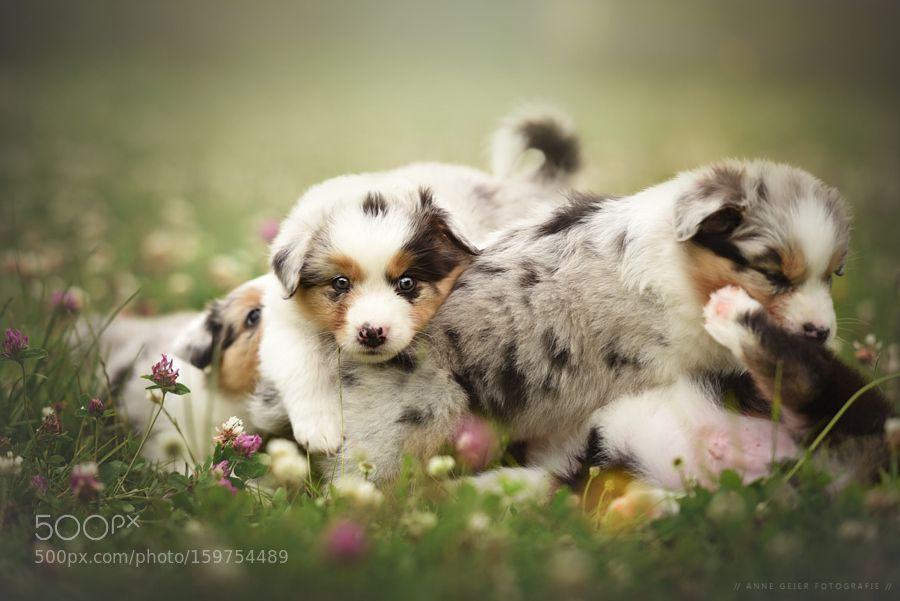 - Puppies - by anne_geier