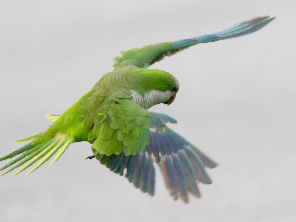 Quaker Parrots Of San Leon Parrot Quaker San