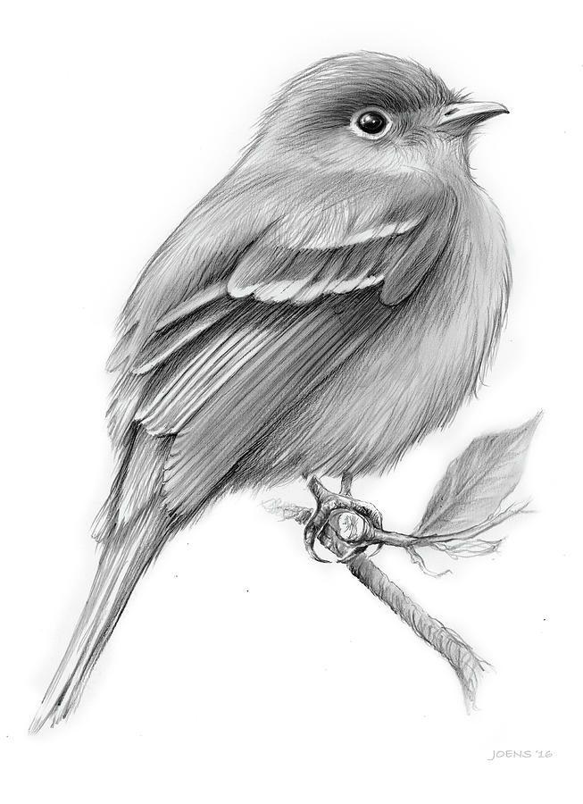 Least Flycatcher #pencildrawingtutorials