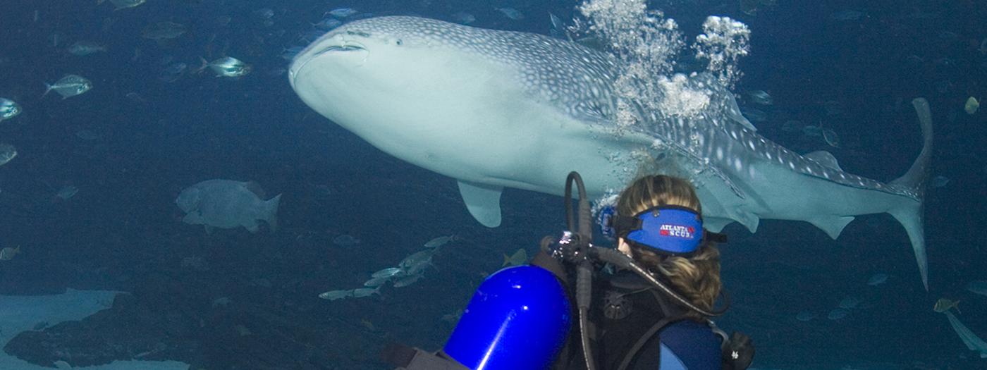 Dive With Gentle Giants Encounter Experience Georgia Aquarium Whale Shark Georgia Aquarium Gentle Giant
