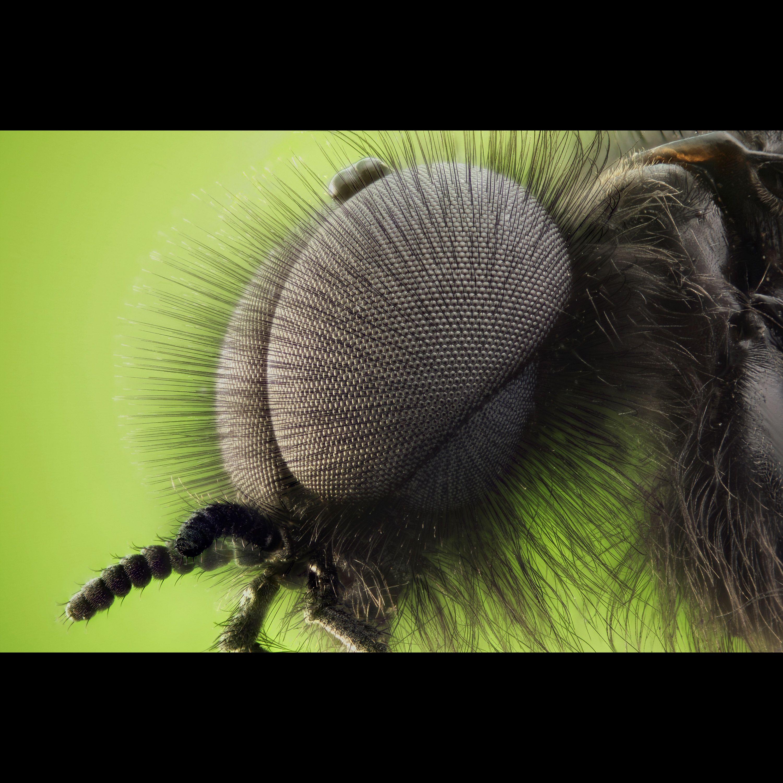 mosca de San Marcos (Fly from San Marcos) - Zoom   Naturaleza ...