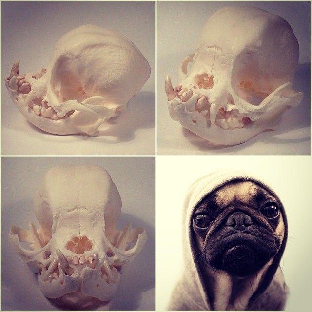 Emporium Galorium Pug Skull Animal Skeletons
