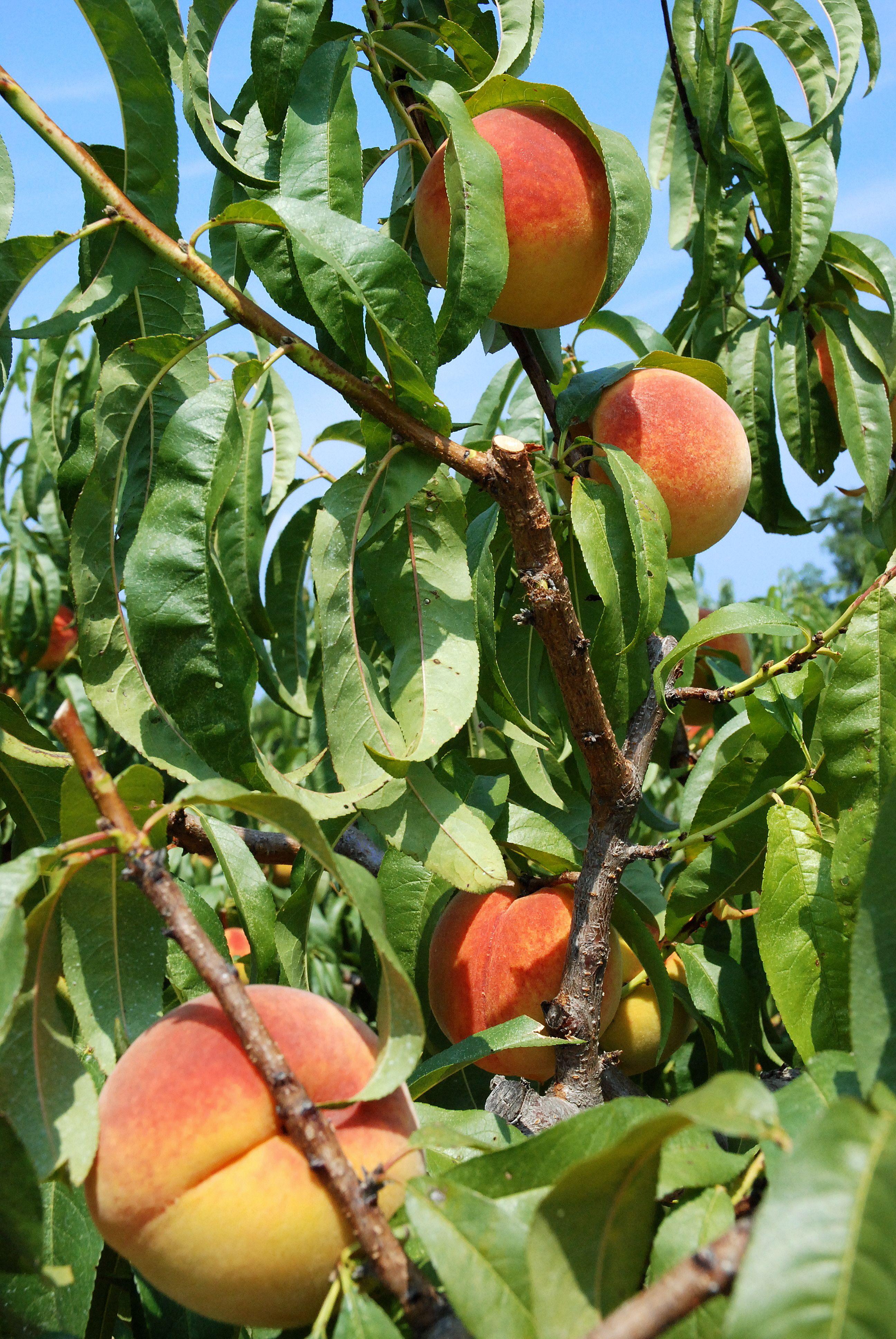 Ruston Peaches...YUM! Ruston, Just peachy, Louisiana tech