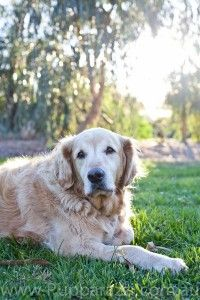 Aussie The Golden Retriever Melbourne Pet Photography Www