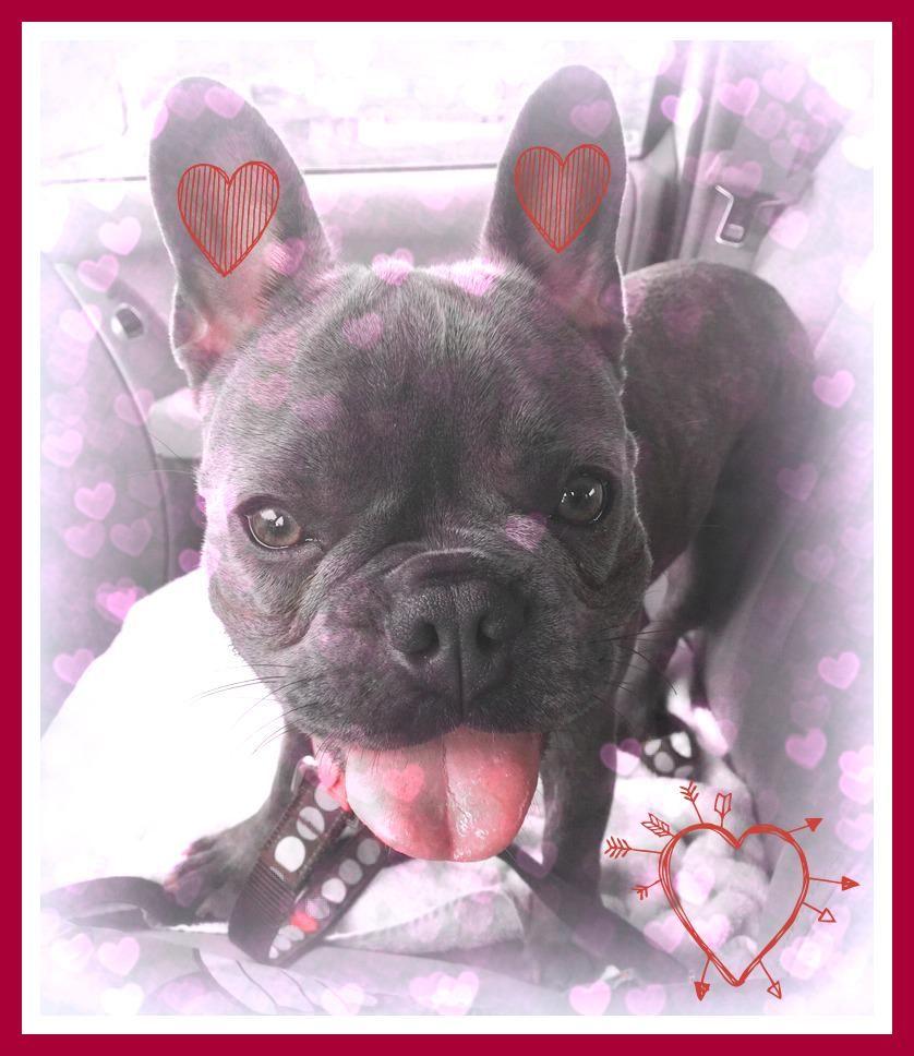Deanna Lee Deannaleedance Twitter French Bulldog Happy Valentines Day Happy Valentine