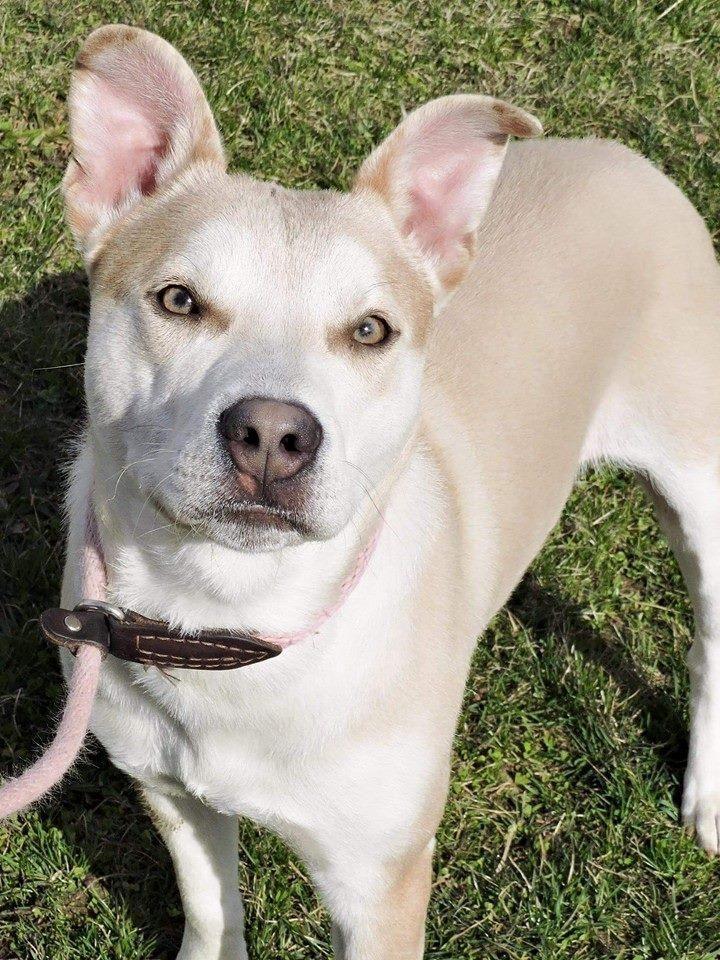 Adopt Conner on Petfinder Husky dogs, Labrador retriever