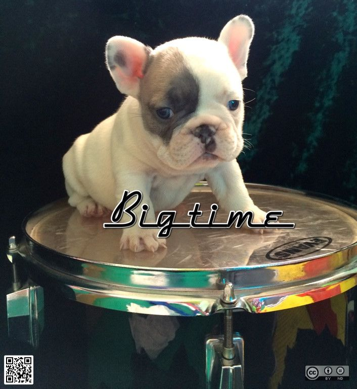 Blue Fawn Tri Pied Girl Sable Carrier Pied French Bulldog