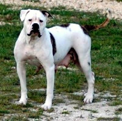 American Bulldog American Bulldog American English Bulldog American Bull
