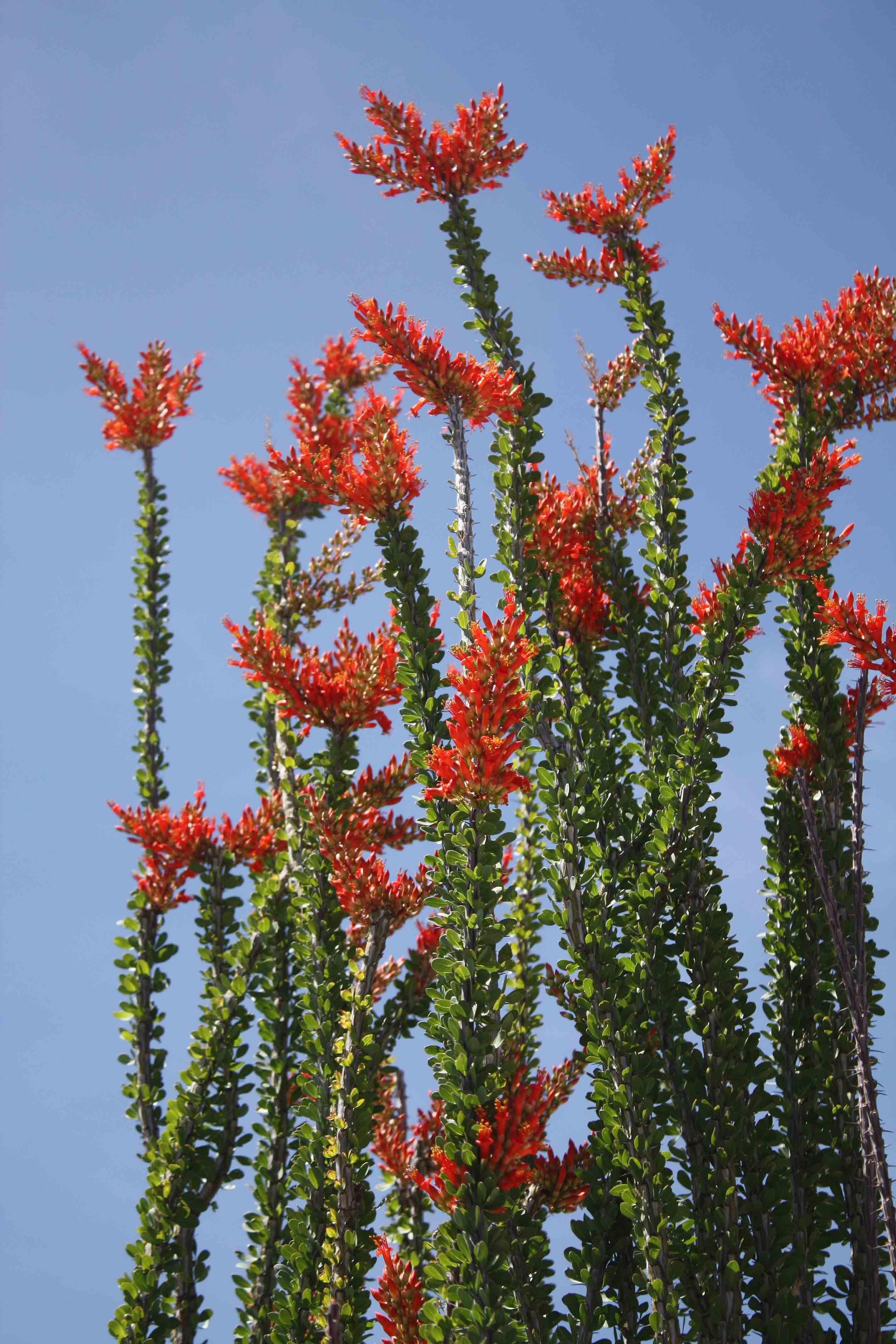 Ocotillo In Bloom So Beautiful Succulent Landscape Design Foliage Plants Desert Plants