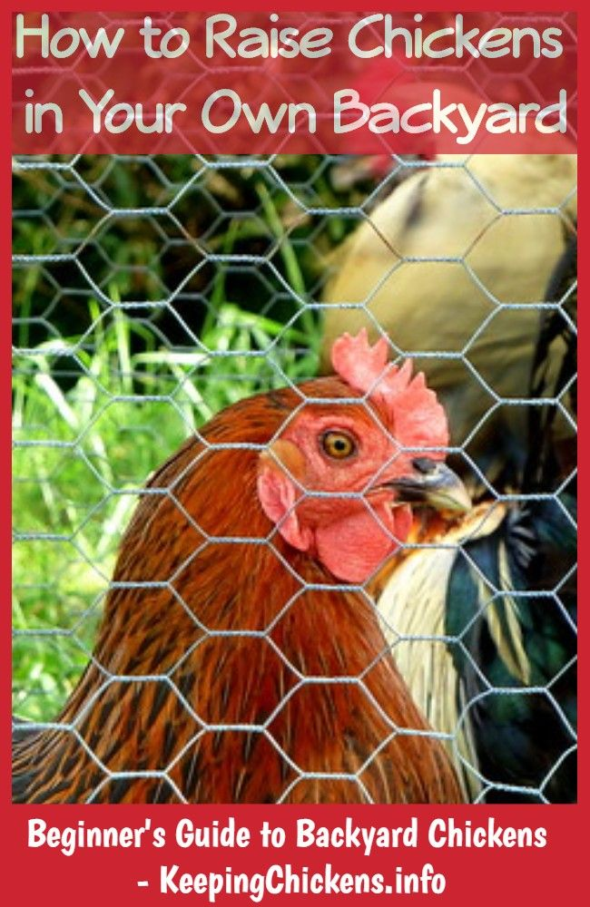 how to keep your chickens warm in winter   Chickens ...