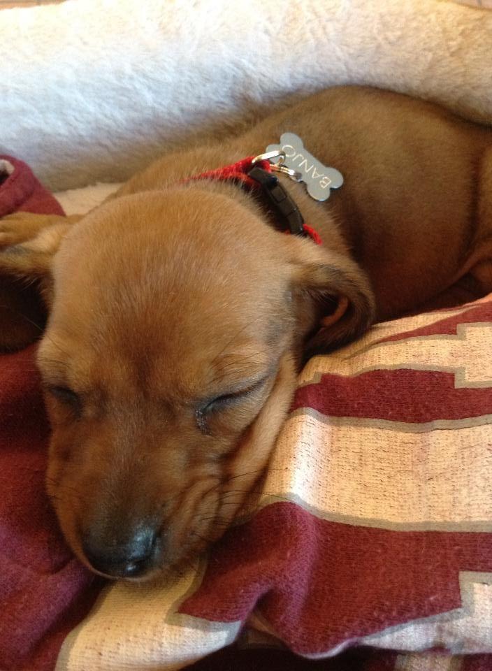 Reddit Meet My New Sleepy Puppy Banjo Puppies Doxie Puppies