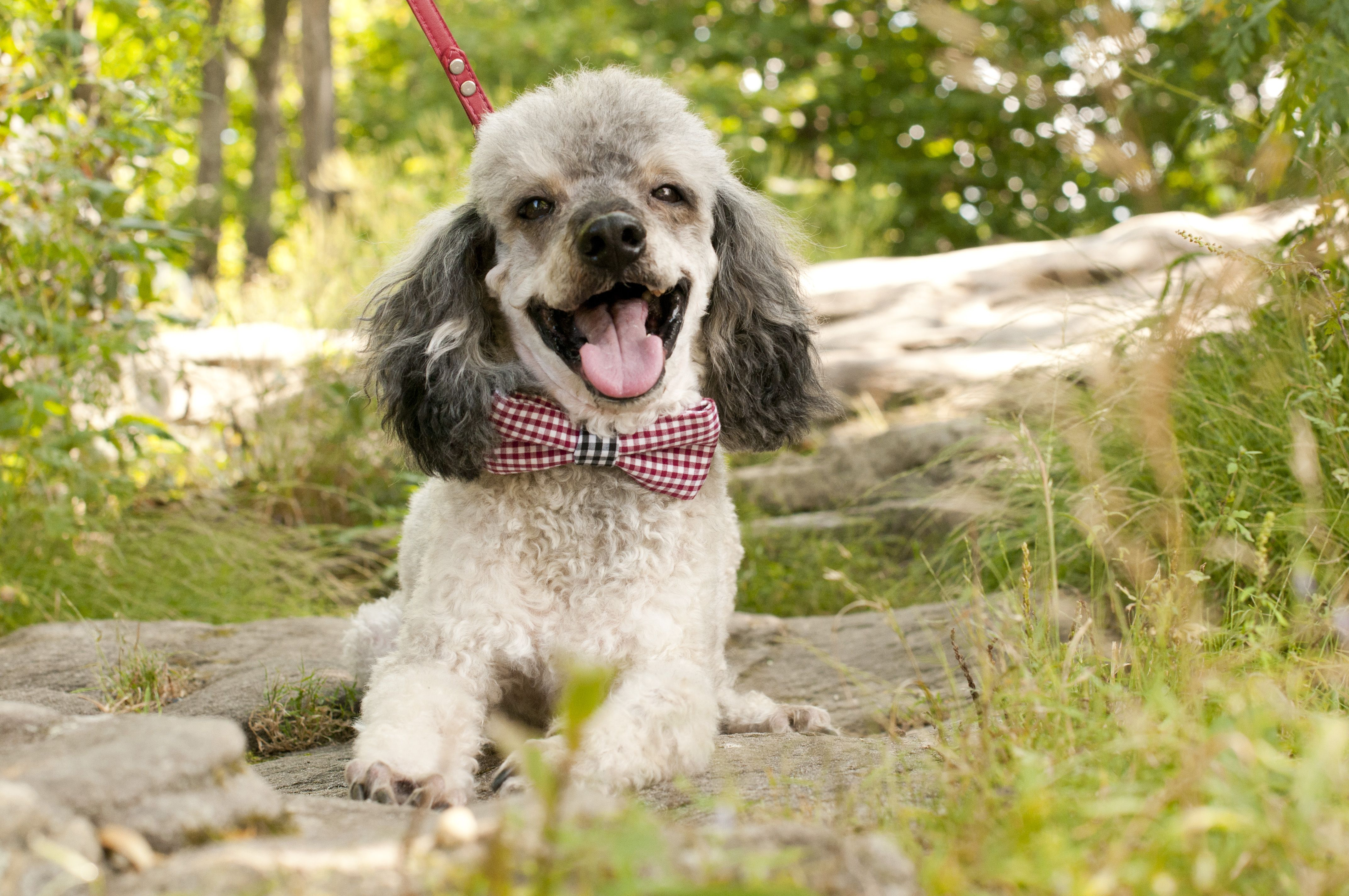 Nothing better than a happy pup and an adorable bowtie