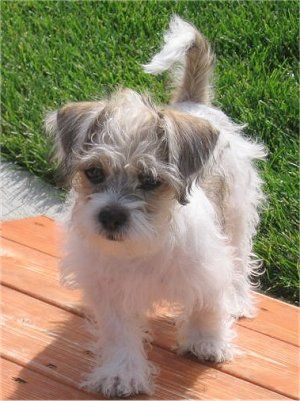Fudge The Fo Tzu Puppy 4 Months Old Shih Tzu Toy Fox Terrier