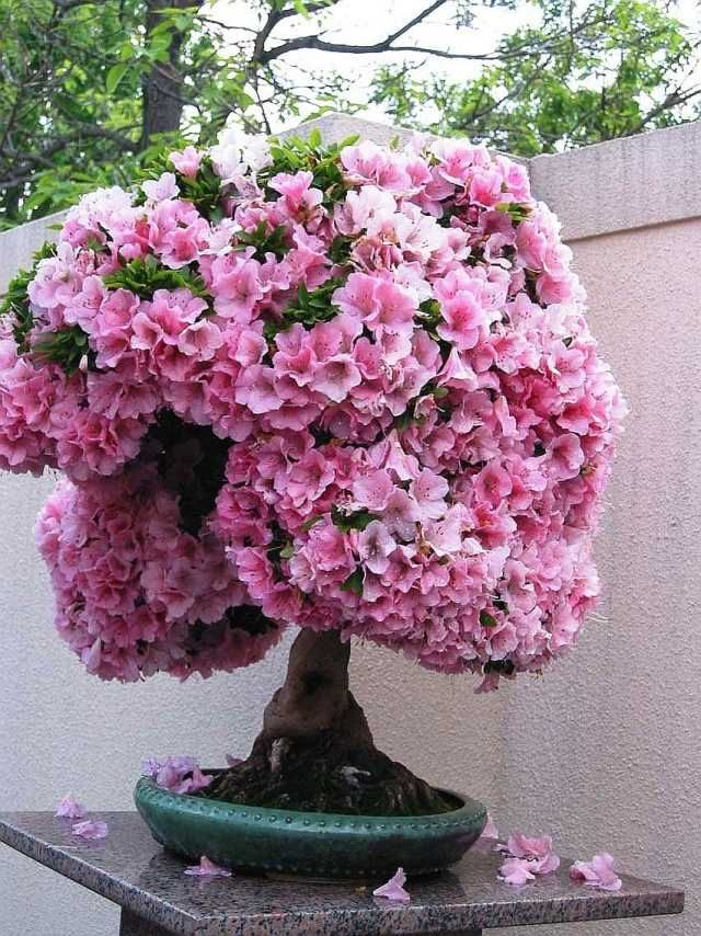 bonsai baum rosa bl ten kleine g rten ideen geeignet bonsai pinterest rosa bl te bonsai. Black Bedroom Furniture Sets. Home Design Ideas