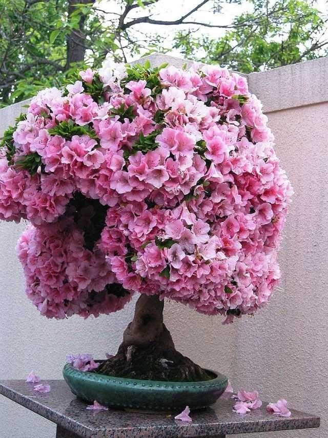 bonsai baum rosa blüten kleine gärten ideen geeignet | grüner, Garten Ideen