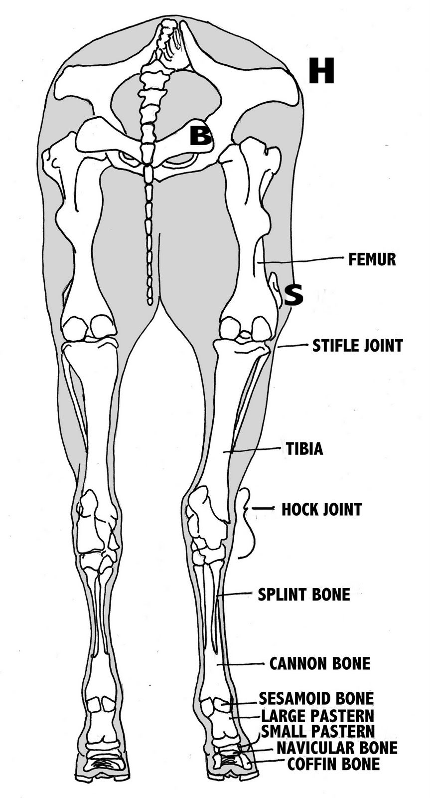 Horse back leg anatomy